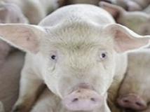 productos cerdos