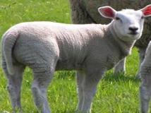 productos ovejas