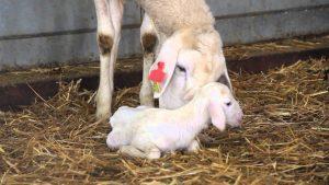 covial toxemias gestacion ovejas